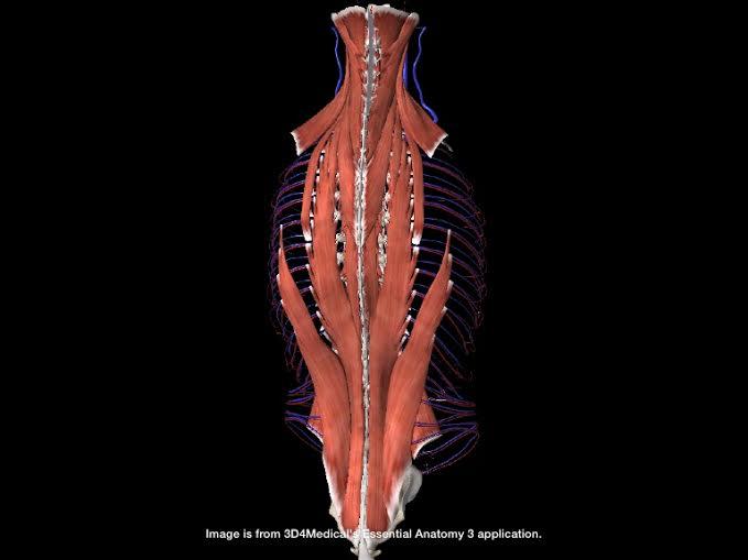 Mélyizmok szerepe a gerinc tartásában